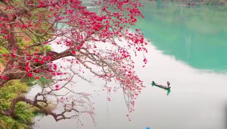 红水河畔 木棉花开27