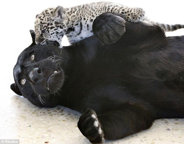 罕见黑色美洲虎与幼仔玩耍